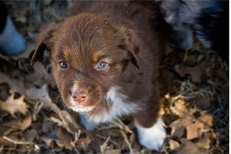 brown australian shepherd puppies brown australian shepherd puppy in nature jpg