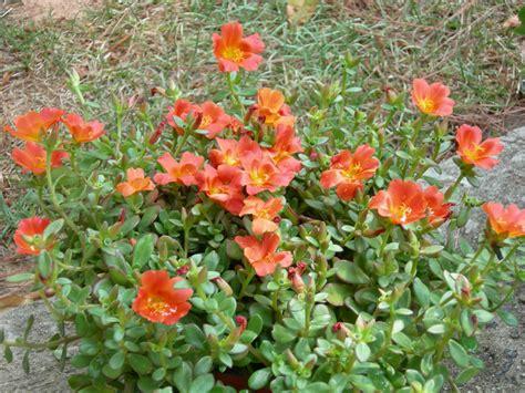flowering succulents plant identification flowers ideas