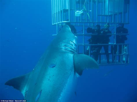 what is the largest great white shark ever recorded primer video shows 20ft great white shark called deep blue try to