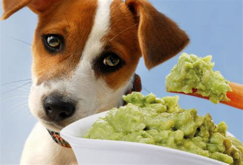 dogs and avocado toxic and dangerous foods your should never eat