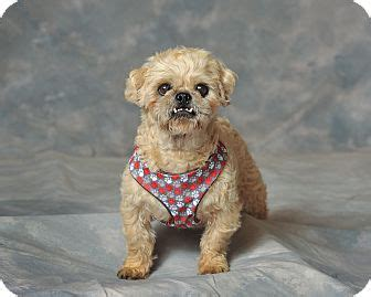 bulldog shih tzu mix aqua dulce ca shih tzu bulldog mix meet baba a for adoption