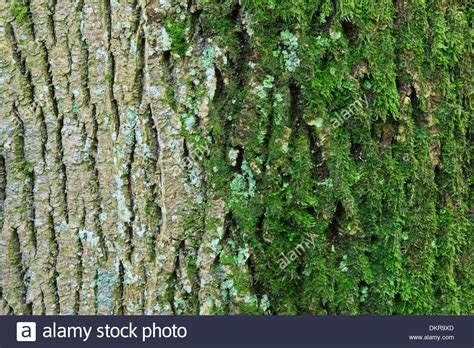 maple tree bark trunk covered detail background macro moss