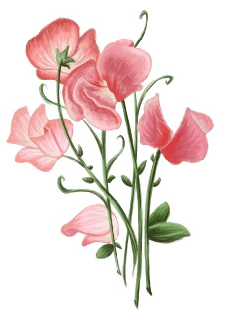 sweet pea flower tattoo designs how to draw a sweet pea flower sweetpea 749x1024 jpg