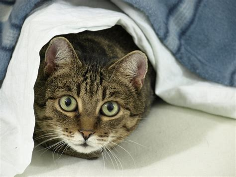 bed bugs on cats can cats carry bed bugs pets adviser