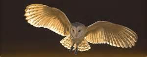 Size Of A Barn Owl Barn Owl Tyto Alba Barn Owl Tyto Alba