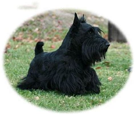 scottish terrier puppies for sale scottish terriers for adoption