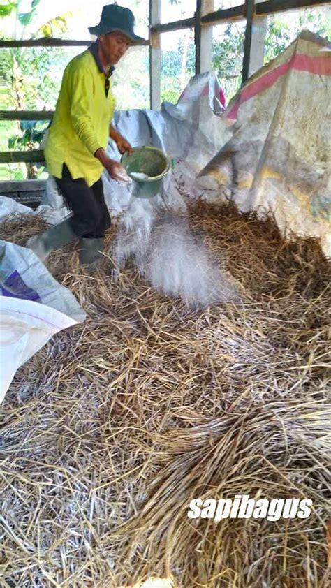Fermentasi Hijauan Pakan Ternak cara mengolah fermentasi jerami untuk pakan ternak