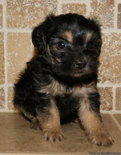 yorkie poo price yorkie puppies for sale 200 breeds picture