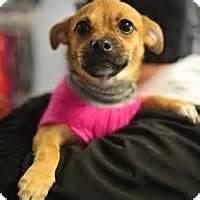 pug rescue ny state beacon ny pug dachshund mix meet betty a puppy for adoption