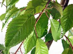 Wholesale Fruit Trees For Sale - cheal s weeping flowering cherry trees for sale online at trees direct