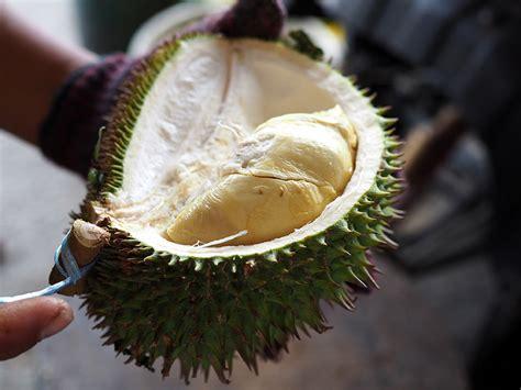 catch wild durian hutan  kuala lumpur