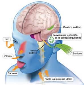 audicion generalidades cochlea