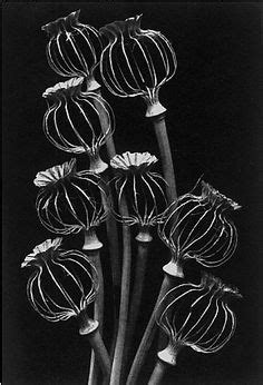 coffeenuts: 54534-20 Papaver somniferum by horticultural