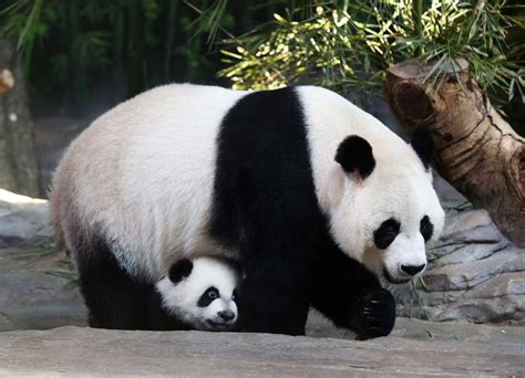 China S Wild Great Panda Population Grows Time