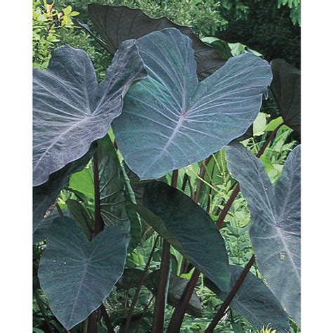 shop garden state bulb black magic elephant ear bulb at lowes com