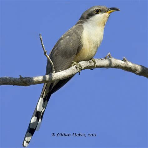 stokes birding blog mangrove cuckoo the holy grail of sw