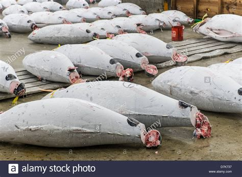 Tuna Fish Frozen large frozen tuna fish on floor of warehouse in the