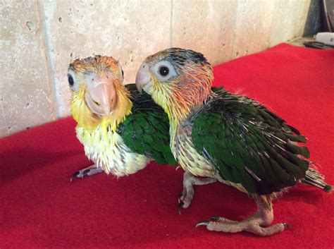 white bellied caique 118948 for sale in st charles mo