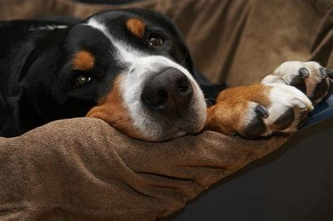 dog misses couch common nutrition problems in dogs miss molly says