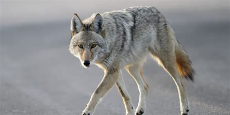 images of a coyote jerry was nearly eaten by a coyote how was your week