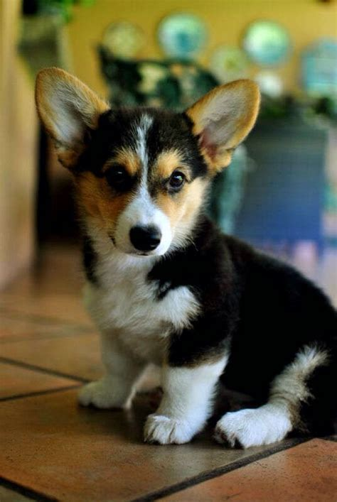 tri color corgi best 25 pembroke corgi ideas on corgi