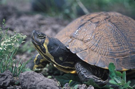 file yellow bellied slider jpg wikimedia commons