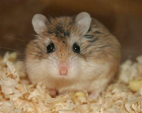 roborovski hamster breeding roborovski hamster part 1