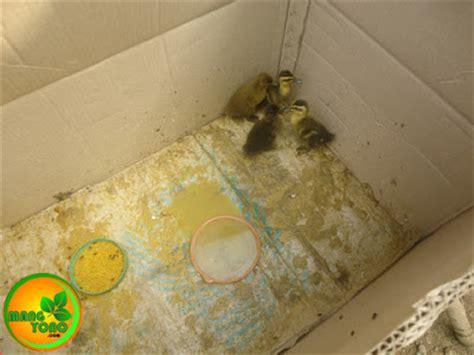 Bibit Bebek Hari Ini cara menetaskan telur bebek dengan induk ayam kung