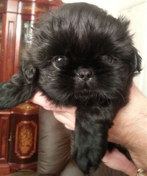 black shih tzu puppy black shih tzu puppies hull east of pets4homes