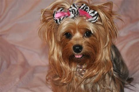 haircuts for female yorkies cute yorkie puppy haircuts hairstylegalleries com