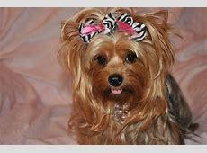Dr Yorkies | Deidre Ridenhour | Yorkie Puppies | AKC ... Bentley For Sale In Texas