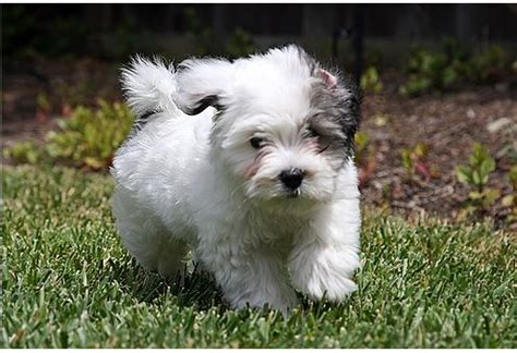 black and white havanese puppies white and black havanese puppy running on the garden jpg