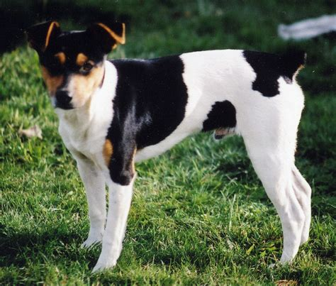 rat terrier feist black breeds picture