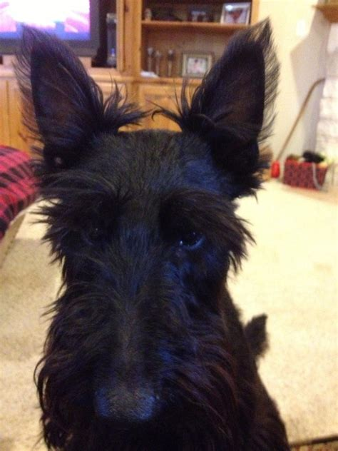 hair cuts for a scottish terrier scottish yerrier haircuts pet grooming products tips