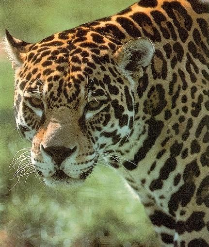 is jaguar endangered jaguar pictures endangered jaguar