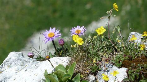 primavera fiori foto gratis fiori primavera fiori di montagna