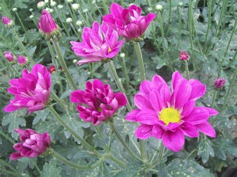 Pupuk Yang Baik Untuk Bunga Krisan cara menanam bunga krisan tanaman hias bunga buah dan sayur