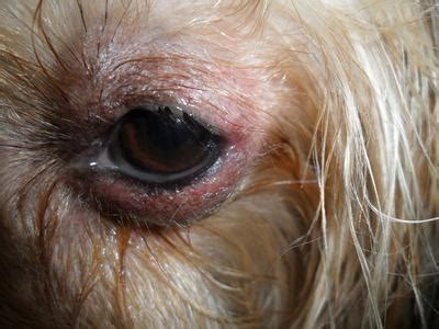 my shih tzu eye discharge eye bulging breeds picture
