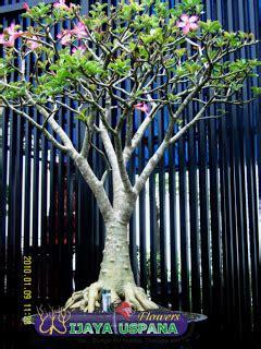 sedia adenium bonsai  tanaman hias