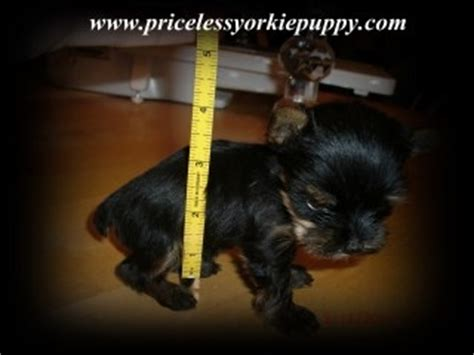 how much do yorkies weigh yorkie weight chart priceless yorkie puppy