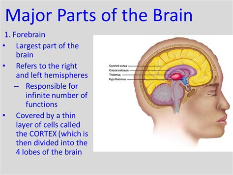 the largest section of the brain is the 6 2 the brain cont human brain weighs 1 350 grams 3
