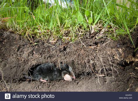 Maulwurf Gangsystem by European Mole Common Mole Mole Maulwurf Unter Der Erde