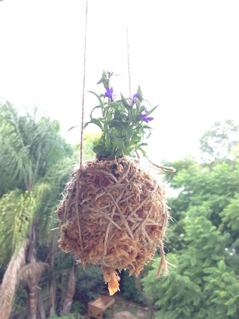 Moss In Planters by How To Make A Kokedama Aka Hanging Moss Of Dirt