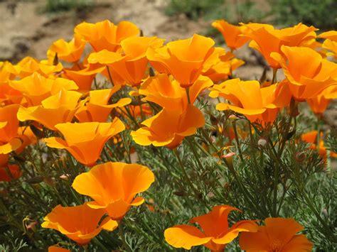 California Poppy | california poppy info learn about growing california poppies