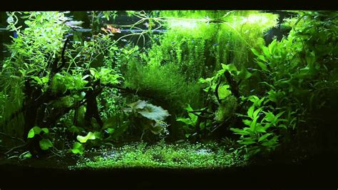 hd tv aquarium tetra jungle p youtube