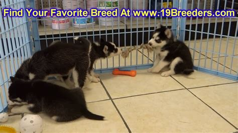 puppies for sale in fairbanks siberian husky puppies dogs for sale in anchorage alaska ak 19breeders