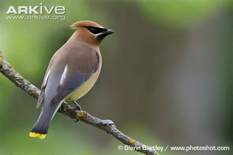 cedar waxwing videos photos and facts bombycilla