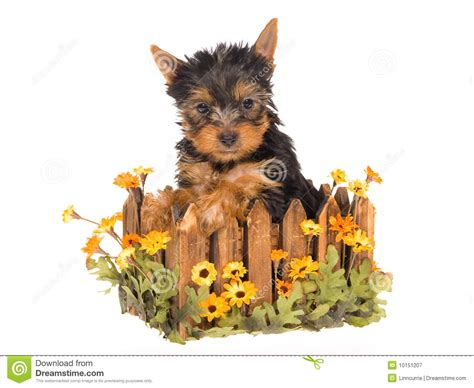 yorkie planter yorkie pup sitting inside daisie planter royalty free stock photography image