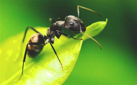 wallpaper semut hitam 191 d 243 nde viven los insectos