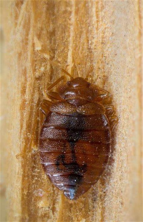 adult bed bug bed bugs new leaf pest control